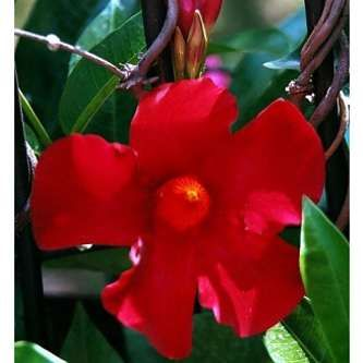 Red Brazilian Jasmine Plant - Indoors/Out - Mandevilla - 4'' Pot