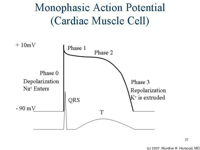 Monophasic Action Potential (Cardiac Muscle Cell)