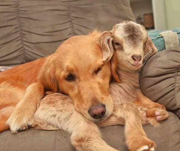 Dog mothers baby goats!