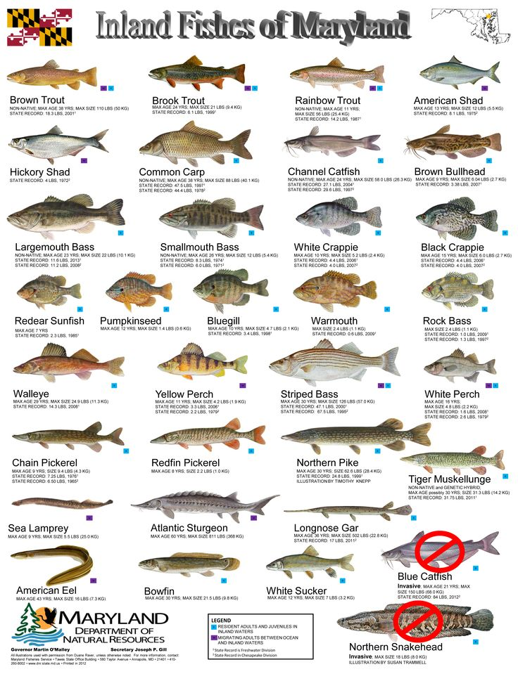 Common freshwater fish identification inland fishes of md for Freshwater fish guide