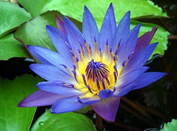 VALENTINE'S DAY SALE Blue Pink Lotus/Water Lilly by Herbs4Health