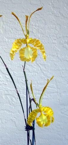 Orchid Bonsai Florida..