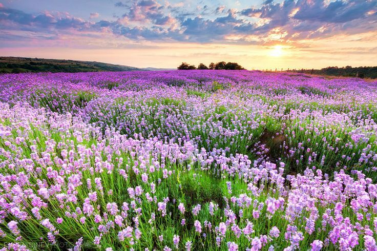 lavendel 7 10 Prachtige Fotos van Lavendelvelden