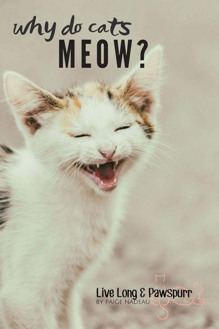 Wonder Why Your Cat Meows Find Out Why Cat Advice Cats Cats Meow