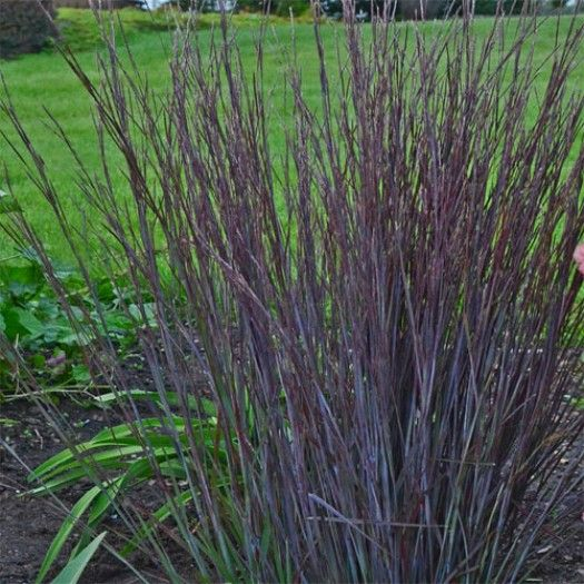 Schizachyrium scoparium 39 smoke signal 39 hardy ornamental for Ornamental grass with blue flowers