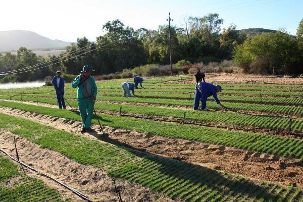 Farm workers in the Rooibos nursery