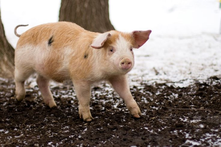 So You Want to Raise Pigs