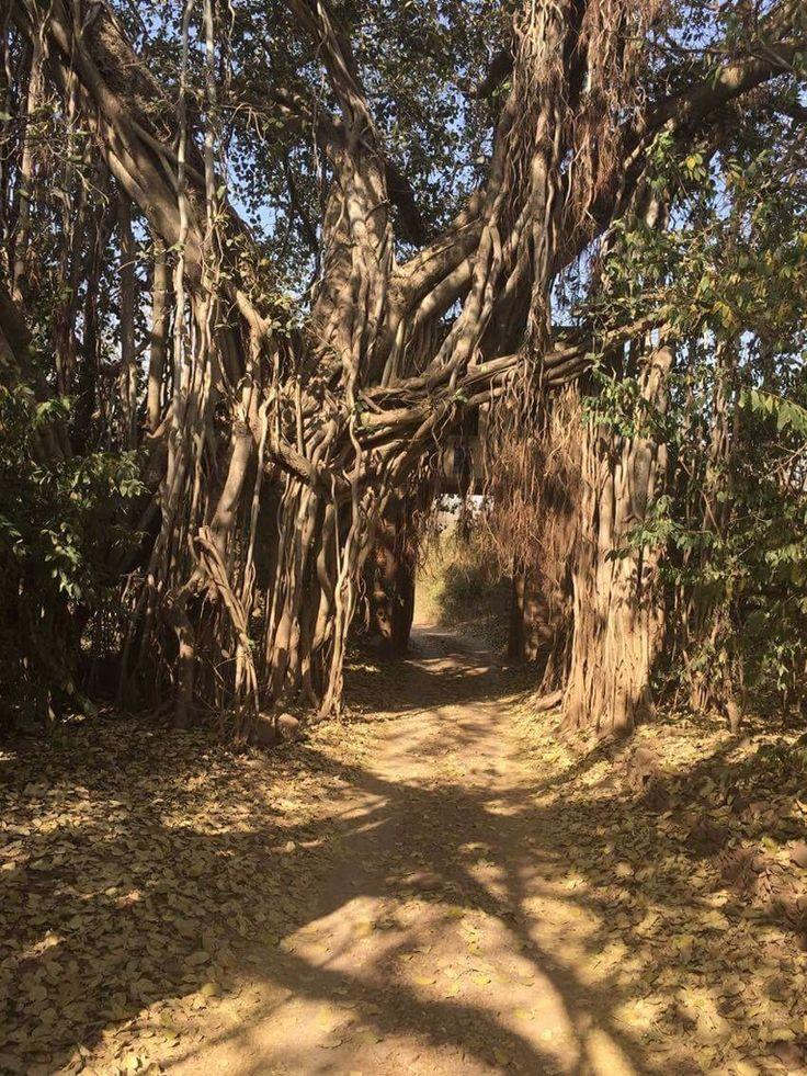 India's national tree, the beautiful Banyan
