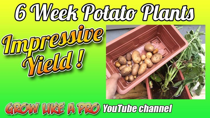6 Week Potato Plants - Impressive Potato Yield !