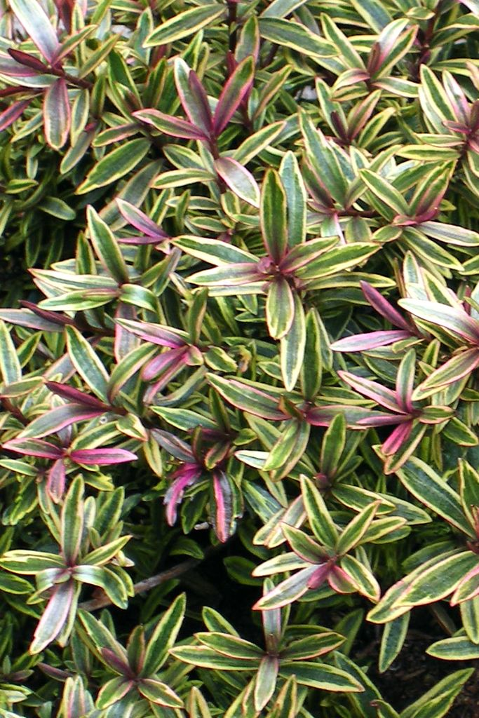 The 25 best purple shamrock ideas on pinterest shamrock plant plants indoor and house plants - Shamrock indoor plant ...