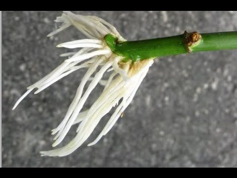 How To Grow Roses From Stem Cuttings Easy Way - YouTube