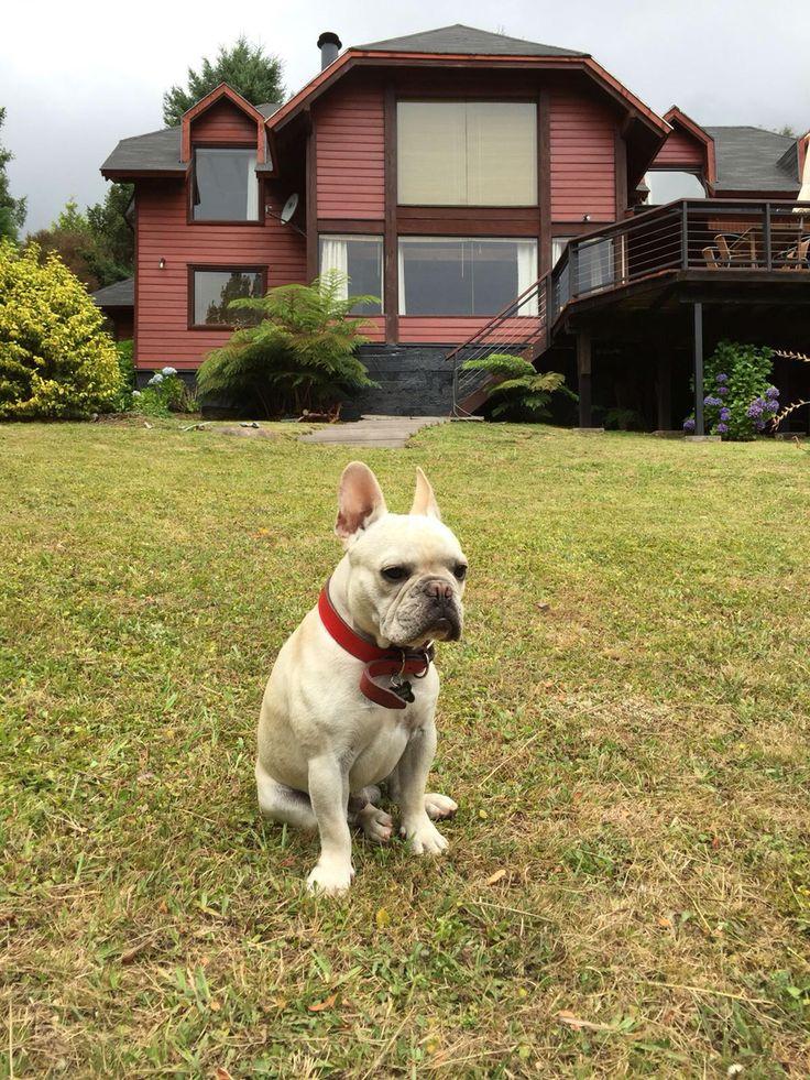 Igor - 1 año 2 meses - en el sur- bulldog frances - frenchi