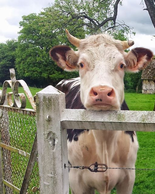 I would love to have a part of my farm dedicated to being an animal sanctuary, perhaps with a cow such as this one, sooo cute!