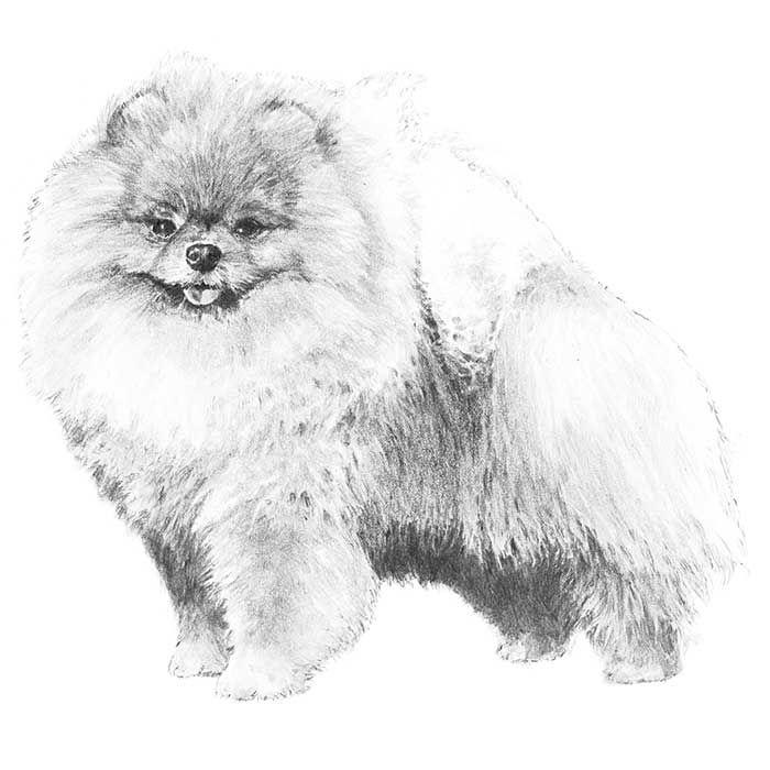 Breed standard illustration of the Pomeranian.