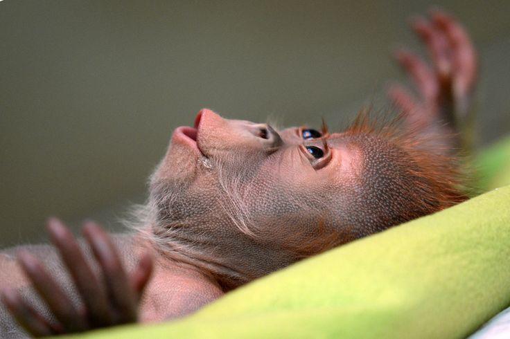 Rieke The Orphaned Orangutan Will Instantly Melt Your Heart