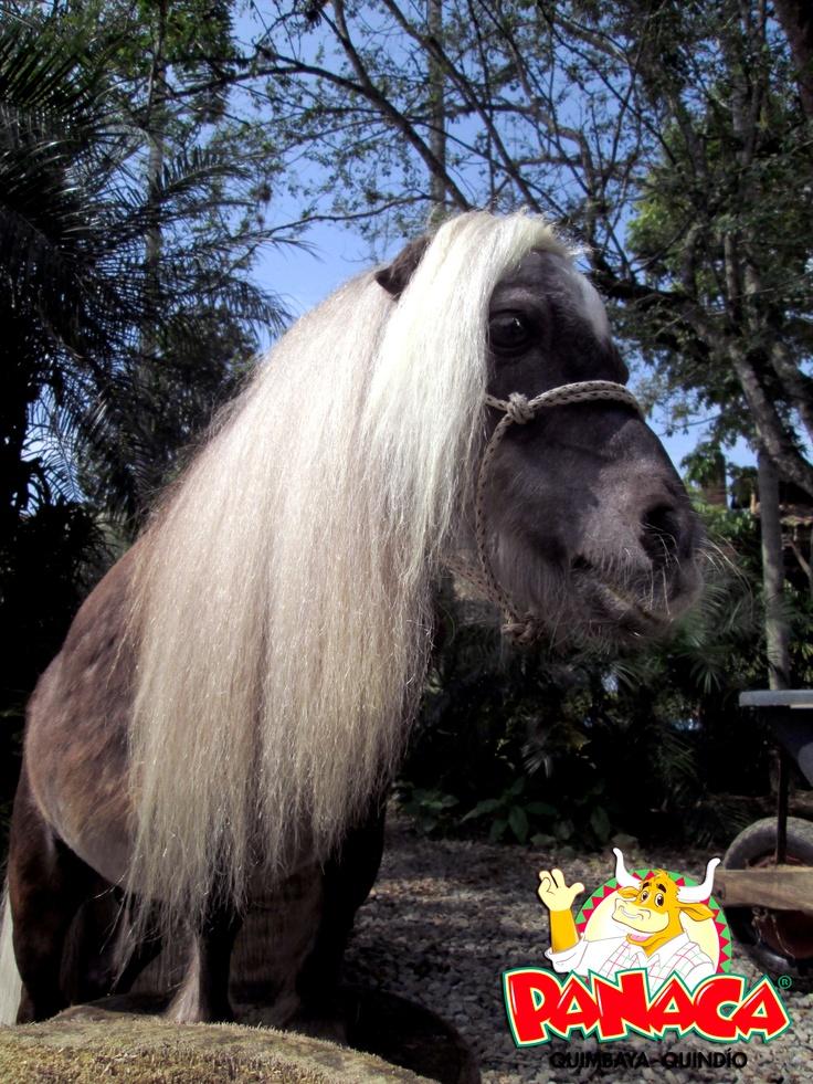 """Mi Nombre es """"Pesito"""" y mi tamaño es sólo una muestra de la grandeza de mi raza, dicen que las mejores cosas vienen en envases pequeños y mi envase es la muestra de mi armónica talla, soy un caballo FALABELLA de Argentina."""