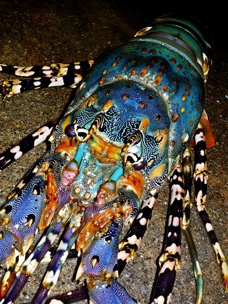 """Nature's Design... I had NO IDEA lobsters existed in these colors!! LOOK at this thing!!! Look at those black & white striped legs that add a cool punch amid the blue and orange body. I'm amazed. """"Intelligent Design"""" indeed."""