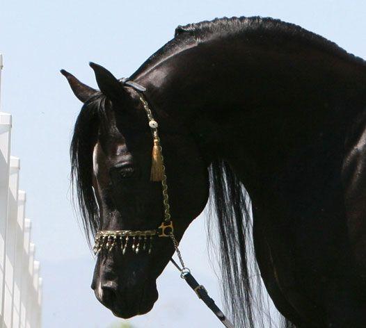 Arabian Horse Arabian Horse Show - Western Competition Egyptian Stallion Breeding                                                                                                                                                      More