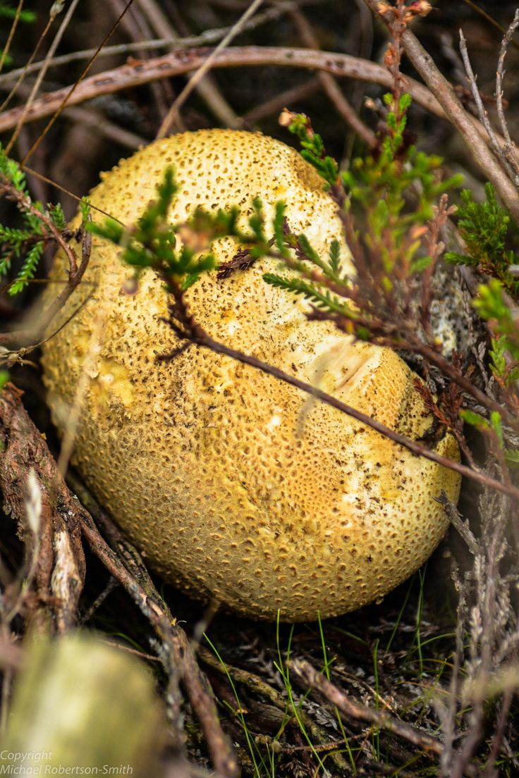 Scleroderma citrinum (Common Earthball), Elstead - Sep 14