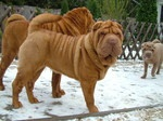 Shar Pei dog in the snow