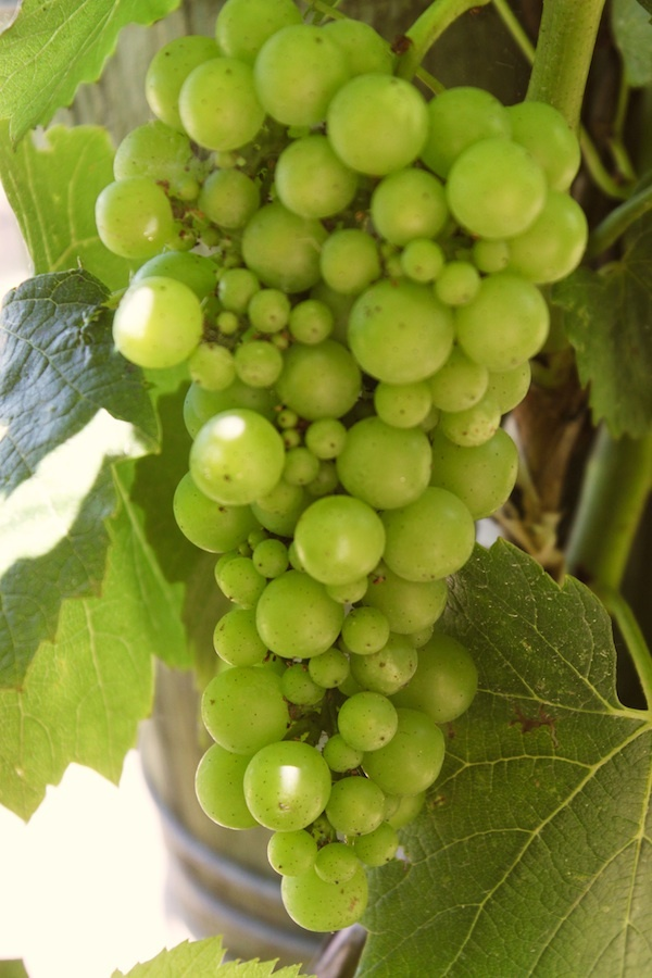 Chardonnay (voor schuimwijn) - Vinthousiast, Rupelmonde (Kruibeke) - www.vinthousiast.be