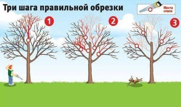 Как вернуть деревьям былую силу. Три шага правильной обрезки | Дачный сад и огород