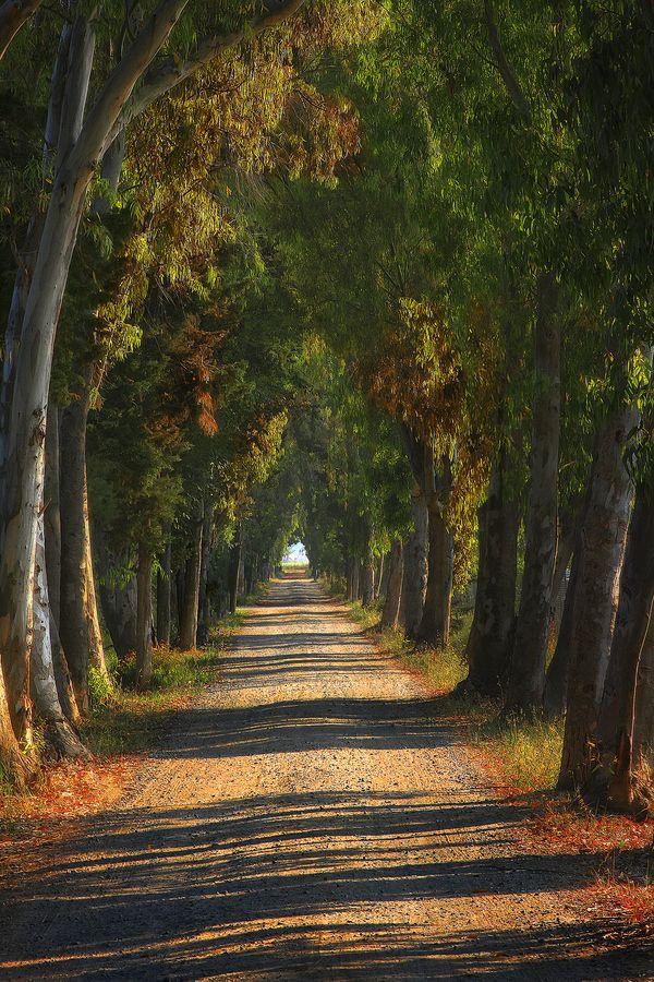The way of the eucalyptus, Tuscany, Italy, province of Livorno