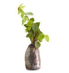 Creeping Ficus 5pcs Rp 32,000