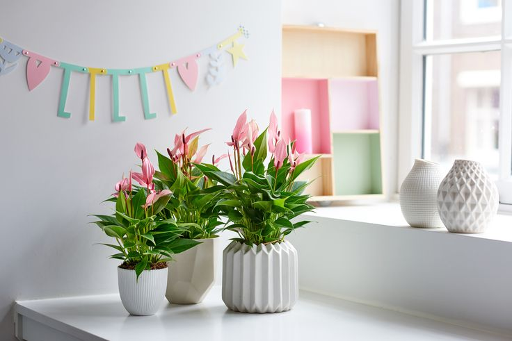 This light pink Anthurium is just right for a pastel interior.