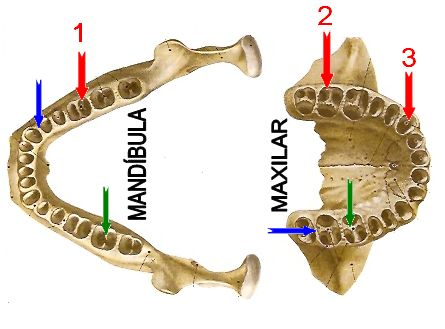 ANATOMIA, anatomia dental, coroa dental, dentina, esmalte, cemento, polpa