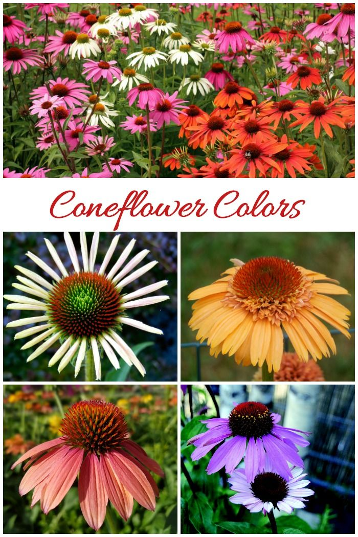 Growing Echinacea How To Care For Purple Coneflowers Echinacea Beautiful Flowers Garden Flowers Perennials