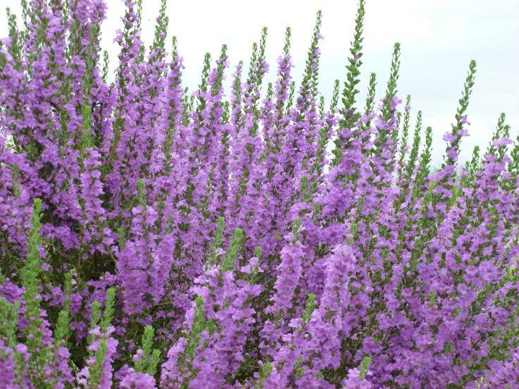Purple flowering sage bush texas ranger shrub flowers for Purple flowering shrubs identification