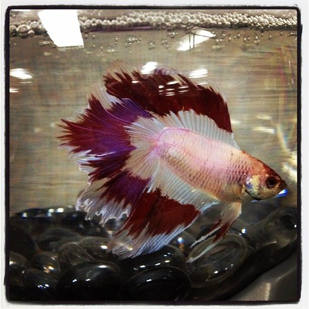 327 best super guppies bettas images on pinterest for Types of betta fish petco