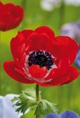 Take a look at our range of beautiful and unusual bulbs - perfect for adding something different to your garden during spring! Don't be put off by their unfamiliar names,you might be surprised at how successfully they grow in your garden!