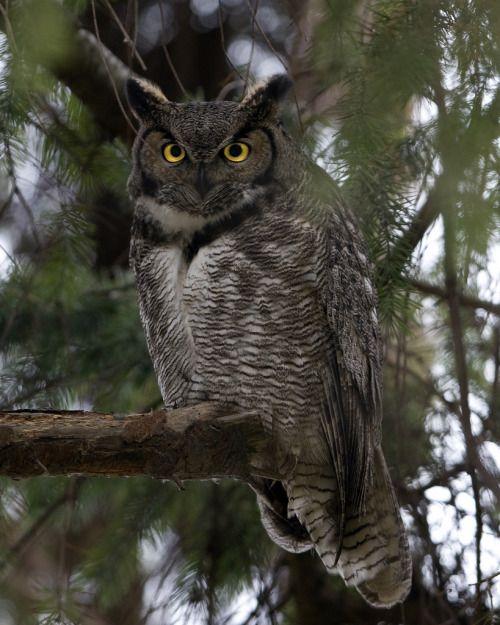 "owlsday: "" Большая рогатая Сова Рик Лече на Flickr. """