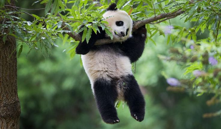 Panda cub Bao Bao hangs from a tree in her habitat at the National Zoo in Washington, Saturday, Aug. 23, 2014. Today marks her first birthday and the the zoo is marking the event with a traditional 'Zhuazhou' ceremony, a Chinese birthday tradition symbolizing long life to mark the event. (AP Photo/Pablo Martinez Monsivais)