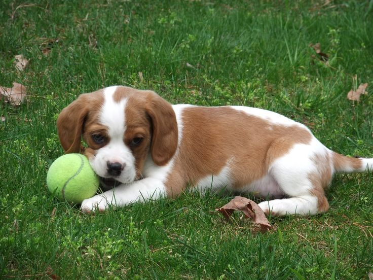 A designer dog breed... Presenting the Beaglier. This is a hybrid of the beagle and the King Charles Cavalier Spaniel.