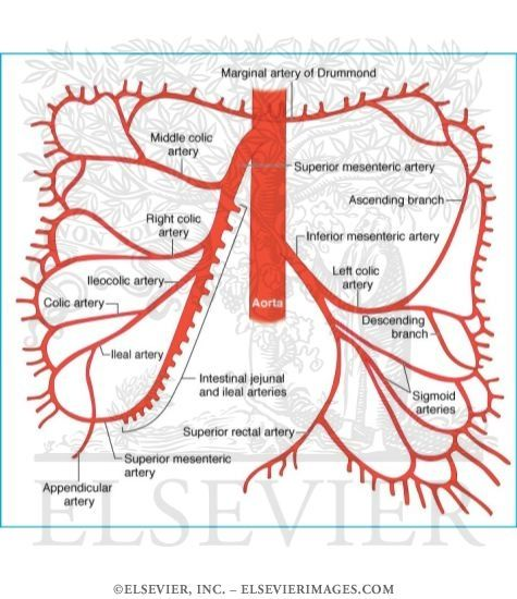 best 25+ superior mesenteric artery ideas on pinterest, Human Body