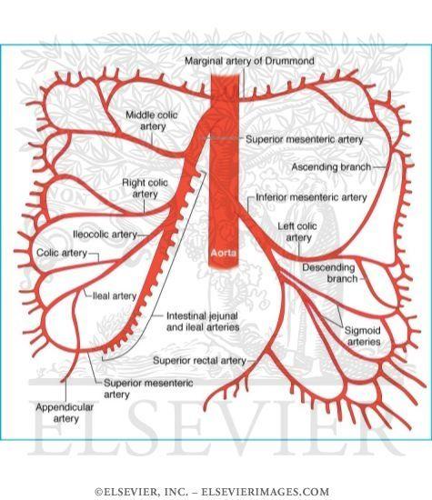 Superior and Inferior Mesenteric Arteries | Nurse