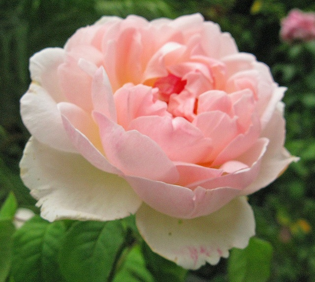 Love Garden Roses: David Austin Rose, Sharifa Asma, Would Love To Grow Theses