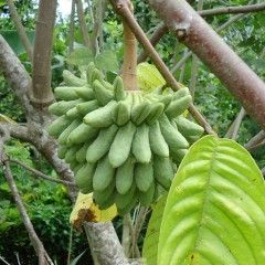 Rollinia deliciosa is a fruit tree native to tropical South America. It is cultivated for its edible fruits commonly known as Biribà