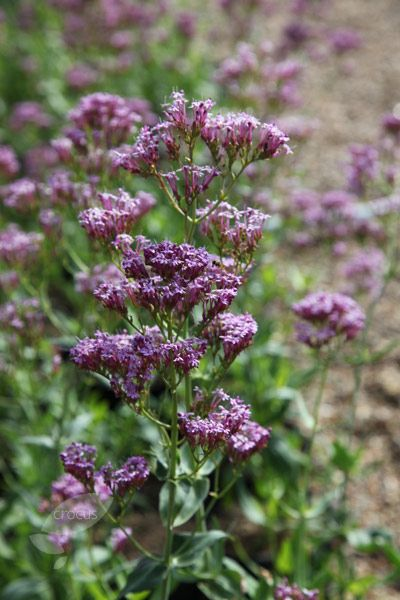 Buy valerian Centranthus lecoqii: Delivery by Crocus
