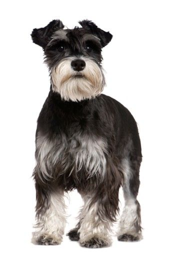 Miniature Schnauzer...I miss my childhood dog, Beau. He was the sweetest thing- would wake me up every Saturday morning with a big ol' lick across the face. He was a salt and pepper mini schnauzer and he was SO smart with the perfect personality.