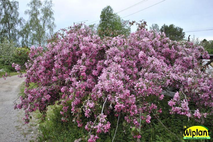 Malus 'Ectermeyer', Hängande prydnadsäppel. Bred hängform med rosa blommor. Höjd: 1,5-2 m.