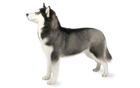 The Siberian Husky is a beautiful breed with a thick coat that comes in a multitude of colors and markings. Their blue or multi-colored eyes and striking facial masks only add to the appeal of this br