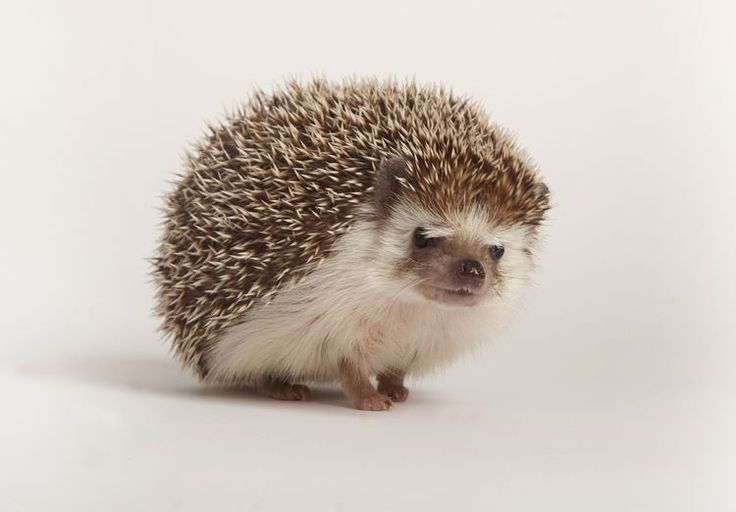 Hedgehog Care Hedgehog Care Tips Hedgehog Guide Hedgehog Health Hedgehog Care Ideas Hedgehog Care Guide Where Do Hedgehog Care Pygmy Hedgehog Hedgehog Pet