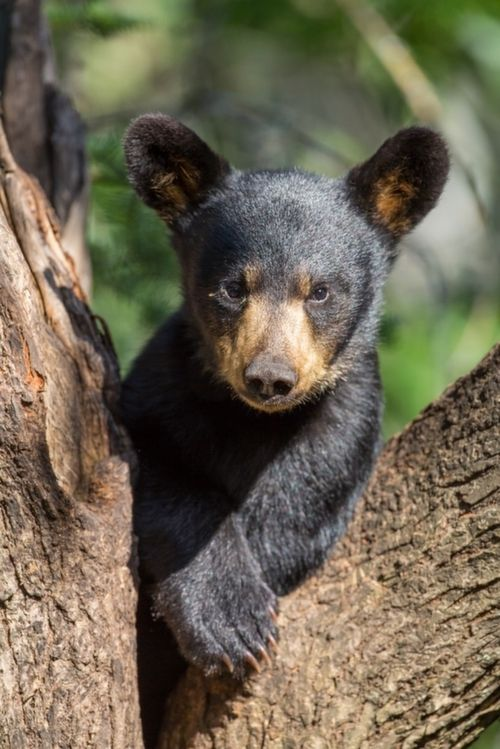 black bear cubs | Related video with Black Bear Cub In Wildflowers Wallpaper Size