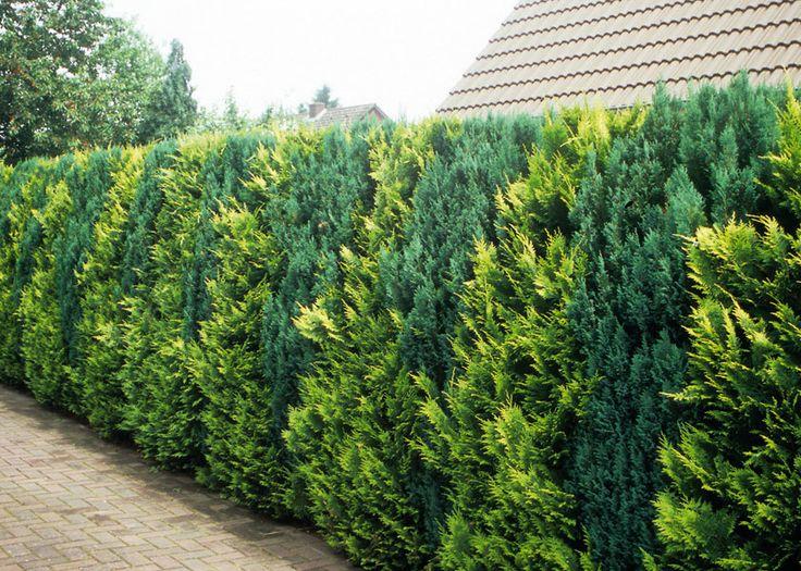 Хвойная живая изгородь, фото с сайта www.vebidoo.de