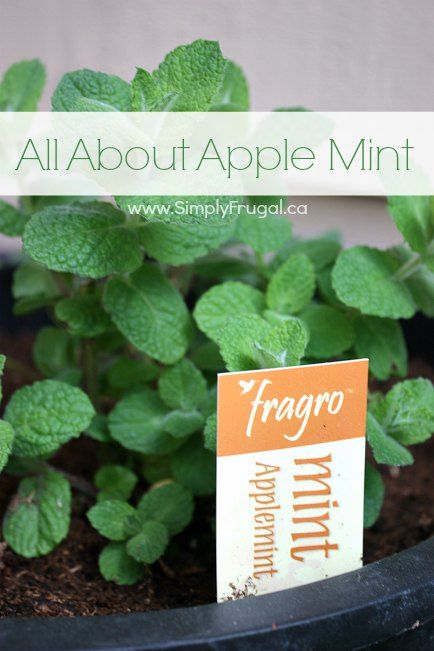 25 gorgeous Growing mint ideas on Pinterest How to plant mint