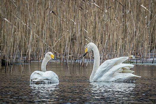 Swan discussion by Katarzyna Szymanska